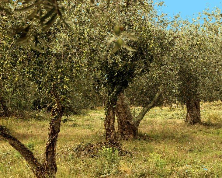 Confrérie des oliviers de banyuls